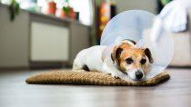 Best Dog Cone